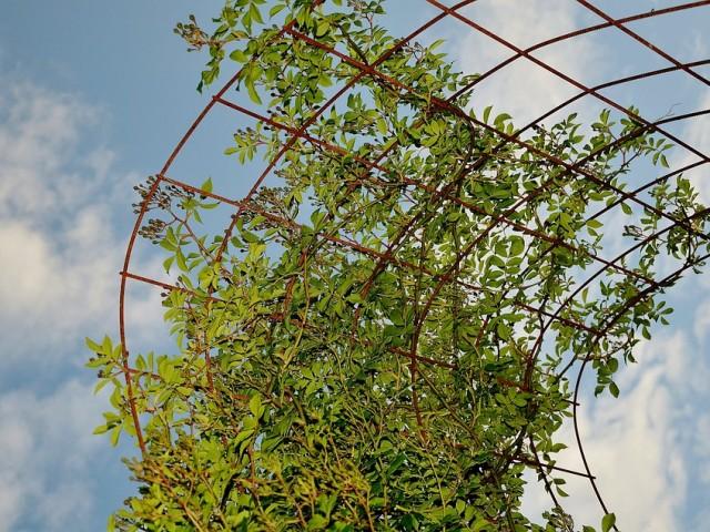 Les plantes grimpantes, éléments déco parfumés à la vertu curative