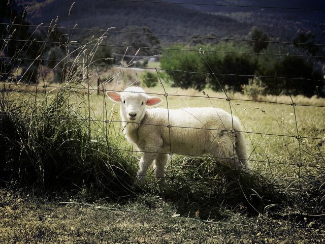 Zoom sur le grillage à mouton