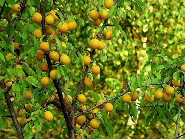 Planter un arbre fruitier dans son jardin